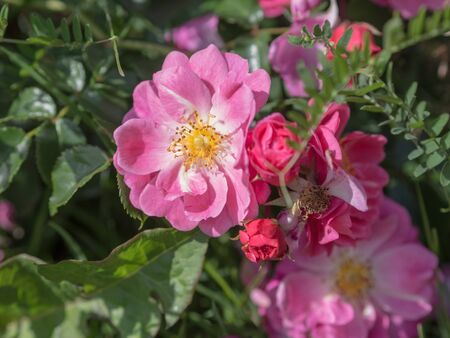flowering wild rose on a sunny summer day closeup Stock Photo