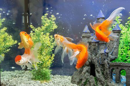 水槽の水で金魚をクローズ アップ 写真素材