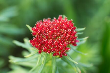 Rhodiola in spring close up (Rhodiola linearifolia) Stock Photo