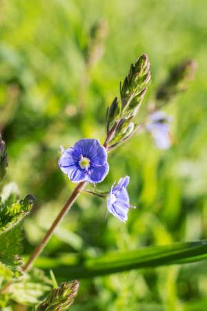 Small blue spring flowers closeup veronica chamaedrys stock photo small blue spring flowers closeup veronica chamaedrys stock photo 80641592 mightylinksfo