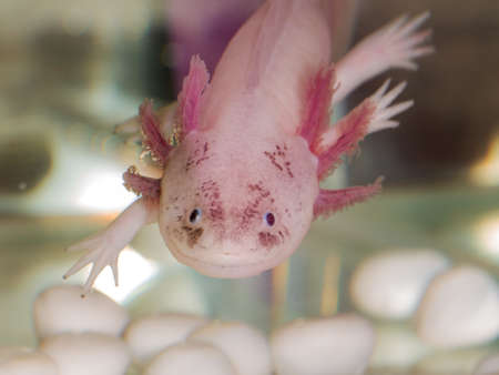 Portrait of an axolotl in aquarium close up