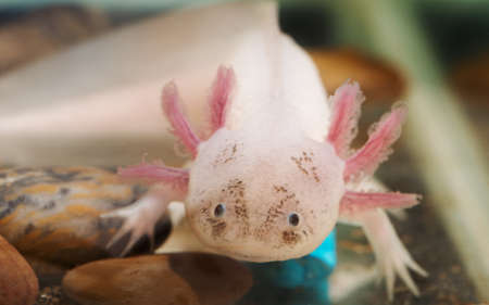portrait of a funny axolotl in an aquarium 写真素材