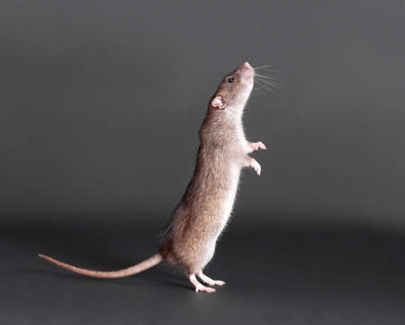 portrait of a standing brown domestic rat 스톡 콘텐츠