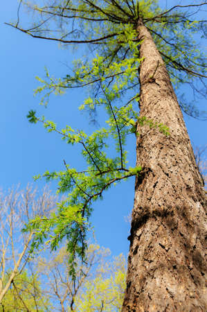 larch with soft green needles in spring