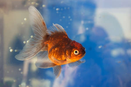 portrait of goldfish in aquarium water closeup