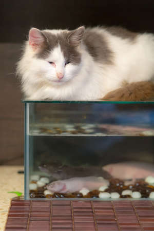 cat lies on the aquarium with axolotls Stock Photo