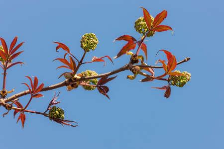 spring branch of elderberry against the sky
