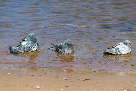 flock of pigeons in the water near the shore Banco de Imagens