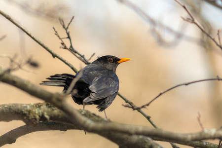portrait of a curious blackbird on a branch