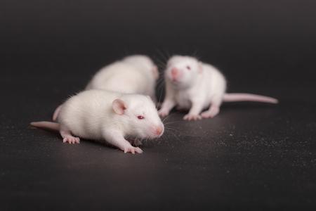 three white babies rat on black background