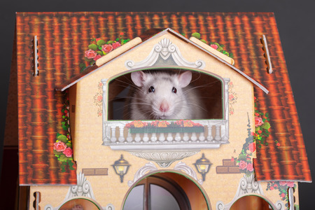 domestic rat in a toy house window Stock Photo