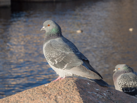 portrait of a dove by the river in the foreground Banco de Imagens