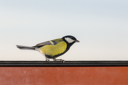 portrait of a tit in an open window closeup