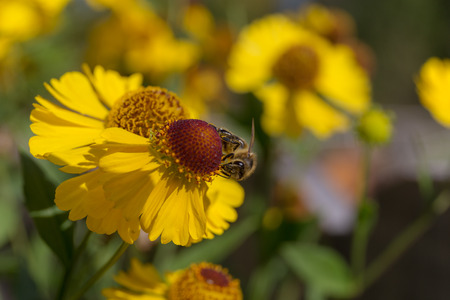 bee on a sneezeweed flower close up