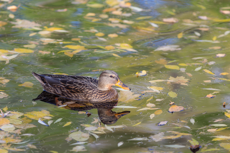 swimming duck in autumn water with fallen leaves
