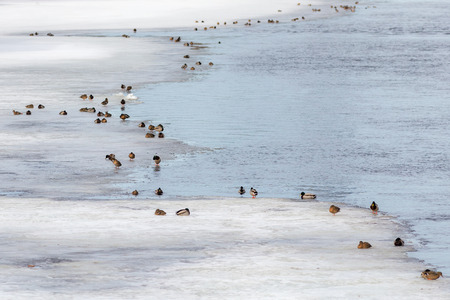 flock of ducks on the ice of the river in spring