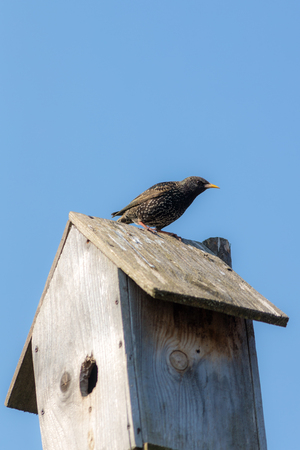starling sits on a wooden nesting box Stockfoto