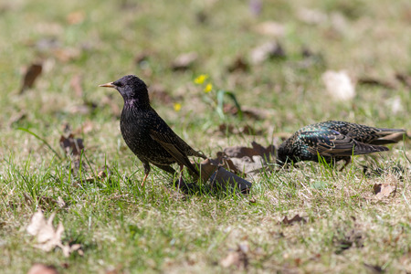 two starlings on green grass in spring