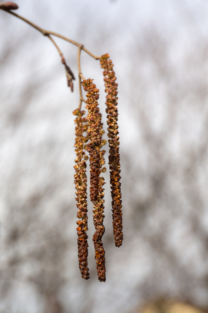 alder catkin in the spring in the foreground closeup