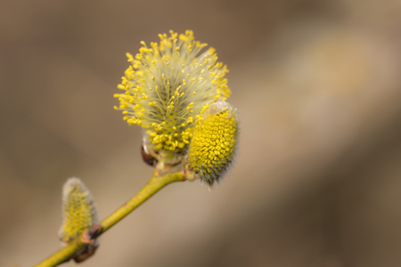 willow buds in the foreground close up Banco de Imagens