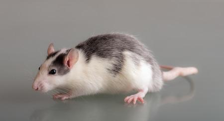 studio portrait of a domestic rat on glass