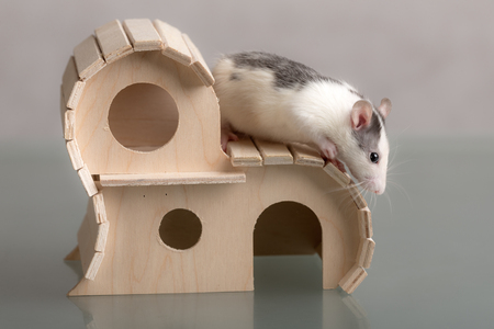 portrait of a domestic rat on a wooden house Stock Photo