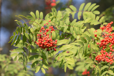 rowan branches with red berries in summer Фото со стока