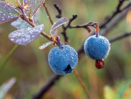 bush of ripe bog whortleberry close up Фото со стока