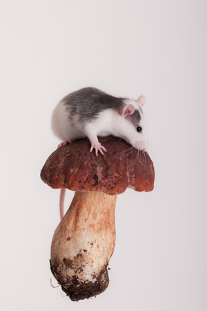 small domestic rat on a mushroom cap