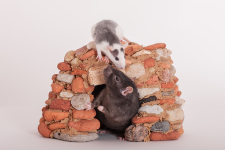 two domestic rats in a small stone house