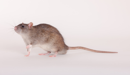 portrait of a brown domestic rat close up Stock Photo