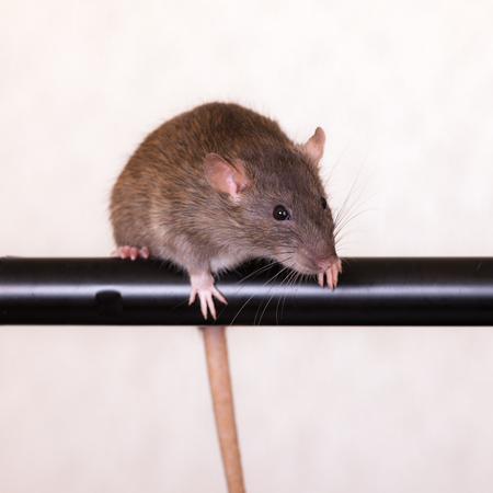 brown domestic rat on a black crossbar