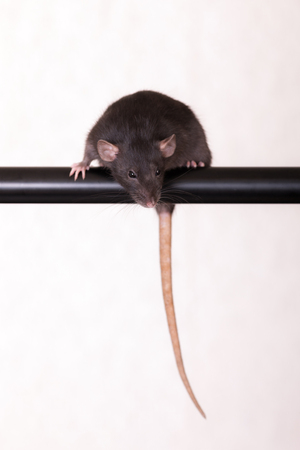 black domestic rat sits on the bar