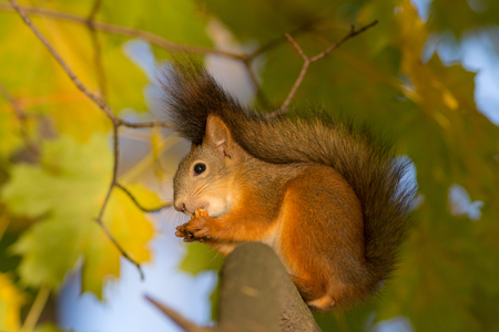 squirrel on a maple branch in autumn eats a nut