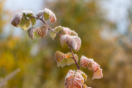 autumn raspberry branch with hoarfrost after freezing