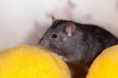 portrait of domestic rat at home closeup