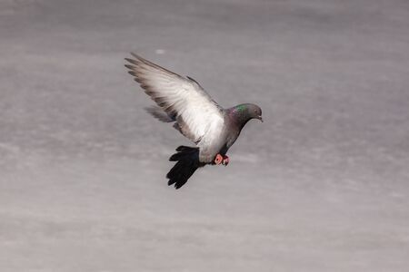 portrait of a dove in flight over spring ice