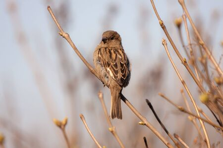 portrait of a sparrow on branches with spring buds