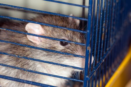 brown domestic rat in a cage close up