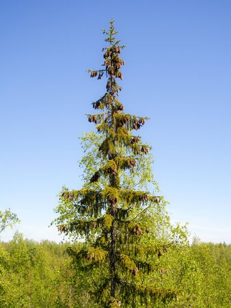 tall fir tree with cones against the sky