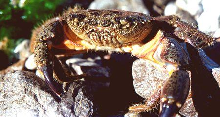 chitin: The Black Sea stone crab sits on coast between stones Stock Photo