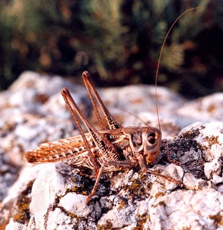 The grasshopper sitting on a stone