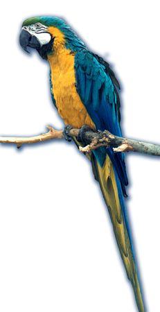 Parrot ara sine-yellow Ara ararauna, sitting on a branch
