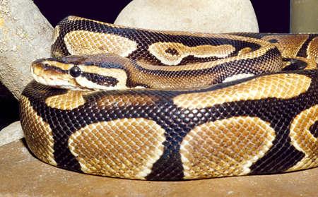 Python Python molurus, curtailed by rings