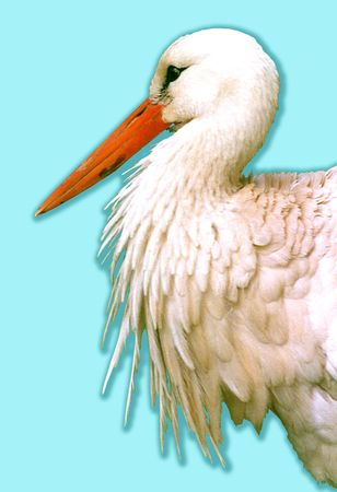 White stork Ciconia ciconia on a blue background Stock Photo