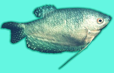 Fish Trichogaster trichopterus  photo