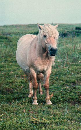 no correr: Wild caballo detr�s c�rculo polar pen�nsula de Kola  Foto de archivo