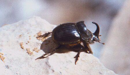 oryctes: The bug-rhinoceros (Oryctes nasicornis)