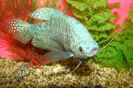 aquarian: aquarian fish marble gurami Trichogaster trichopterus a general view