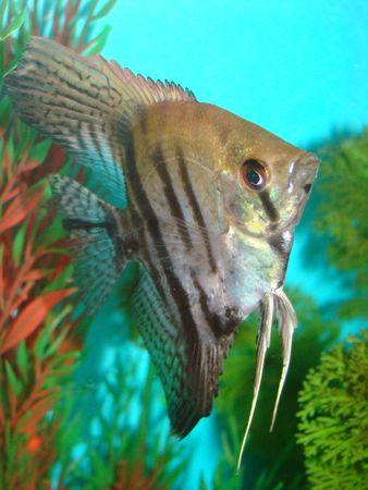 aquarian: Pterophyllum altum - flat aquarian fish  Stock Photo